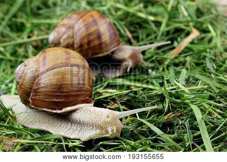 Snail couple. Snail love analogy.Concept of love