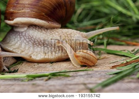 snail family . Little snail and father snail.Analogy.Concept of family