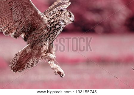 Night owl. Owl night vision image. Infrared picture of Eurasian eagle-owl (Bubo bubo) bird of prey hunting. Nocturnal predator attacking.