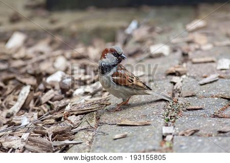 House sparrow (Passer domesticus) gathering insects for food. Garden bird in profile with beak full of flies and insects.