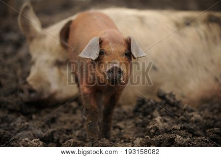 Red Piglet and adult pig in the farm yard on a summer day