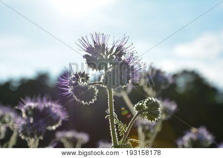 Phacelia blossoms   (   scorpionweed,  heliotrope , Boraginaceae, Kerneudikotyledonen  )    in the back light with many blue sky