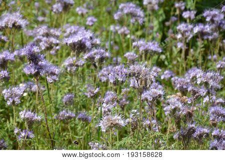 Phacelia   (   scorpionweed,  heliotrope , Boraginaceae, Kerneudikotyledonen  )     in detail