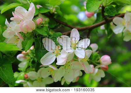 The Apple trees are blooming white flowers. White Apple tree blossoms. The Apple tree twig with white flowers Spring flower background. Green Apple tree in bloom. Apple blossoms