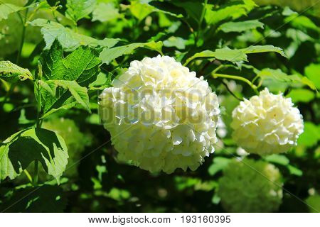 Hydrangea bouquet. Hydrangea white flowering bush in the garden. Shrubs flowering white caps. Flowers shrubs
