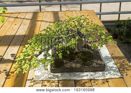 A bonsai tree. Exhibition of Bonsai in Aptekarsky Ogorod (a branch of the Botanical Garden of Moscow State University) Moscow Russia