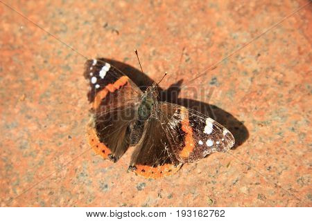 An admiral butterfly Vanessa Atalanta on a pink marble stone