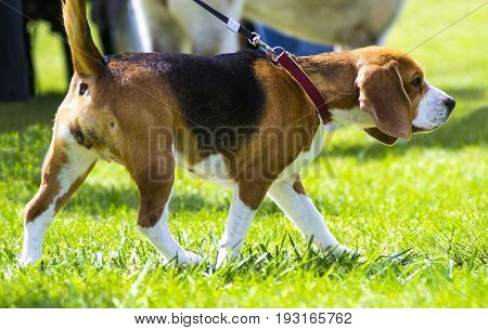 Dog beagle on green grass. closeup Beagle. Beagle dogs portrait