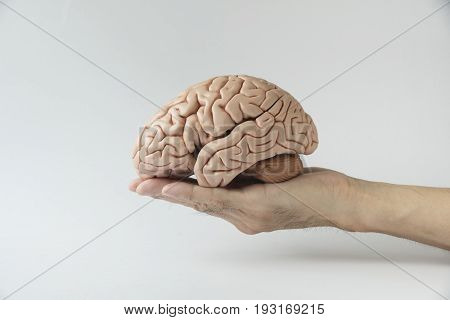A hand holding artificial human brain model on the white background