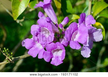 Beautiful Purple Petunias