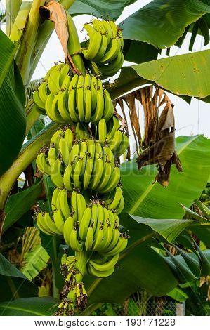 Banana Tree With Bunch Of Growing Green Bananas