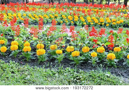 Flowerbed With Multicoloured Flowers: Marigold And Other
