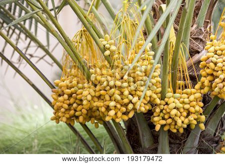 new season dates on a date palm tree