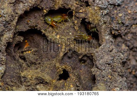 Termites insects in colony over wood inside of the amazon rainforest in Cuyabeno National Park, in Ecuador.