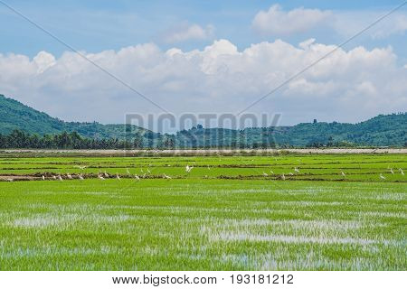 White Storks On The Rice Field. Asian Openbill Standing In The Rice Field