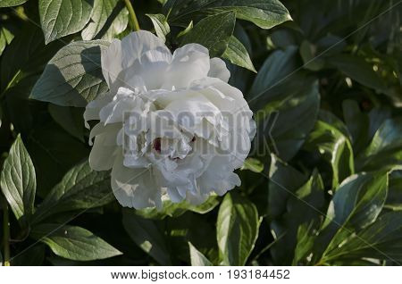 One white peony or Paeonia flower in the green natural background, Sofia, Bulgaria