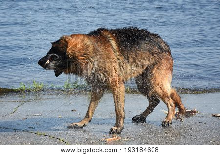 Wet dog breed East European Shepherd Shaking on the shore of the pond