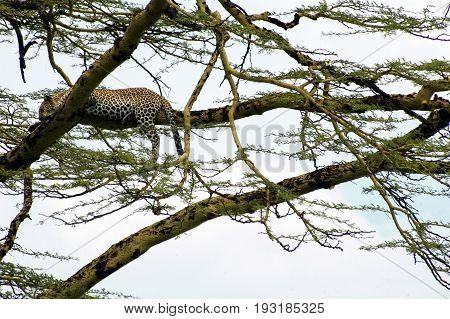 Leopard on a treem Serengeti park Tanzania