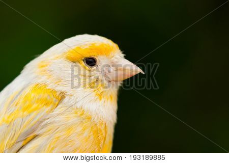 Beautiful yellow canary with a nice plumage