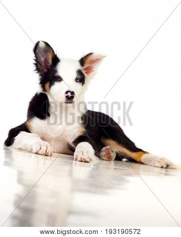 Beautiful Border Collie dog resting on the floor