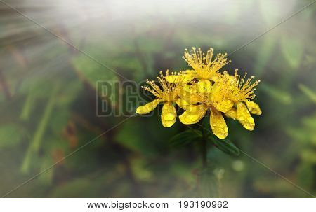 St. John's wort is a medicinal flower closeup in the dew on the green background in the beam of light