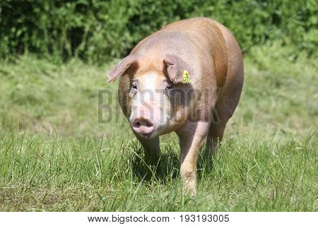 Closeup of a young duroc pig on the meadow