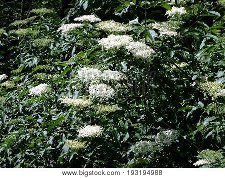 Bloom and leaves of elderflower , (Sambucus nigra)
