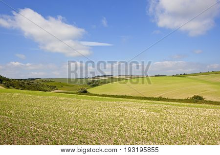 Yorkshire Wolds Pea Crop
