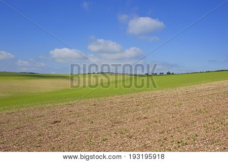 Chalky Soil And Pea Crop