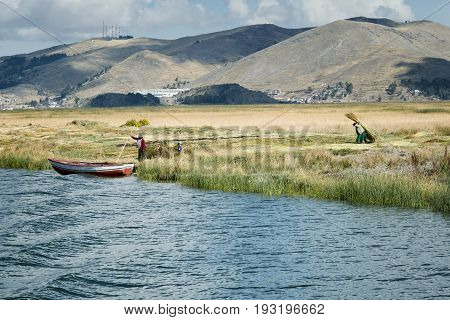 Aymara family collect reed for building Uros floating islands Titicaca lake Peru