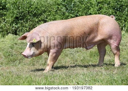 Duroc breed pig at animal farm on pasture summer time