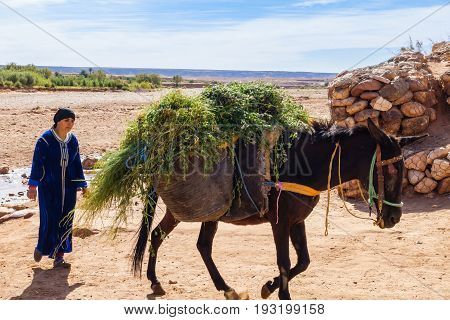Ait Benhaddou Morocco - May 11 2017: Moroccan Berber woman wearing a traditional moroccan caftan walking behind her mule loaded with alfalfa plants near the ancient village of Ait Benhaddou.
