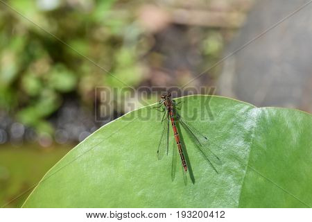 Large red damselfly on a green lily leaf