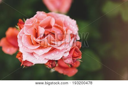 Blossom rose with water drops of rain on green background flowers for love womens and mothers fresh beautiful roses closeup mock up for text pink spring bouquet romantic card photo