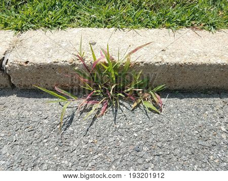 colorful grass weed growing in asphalt and a curb