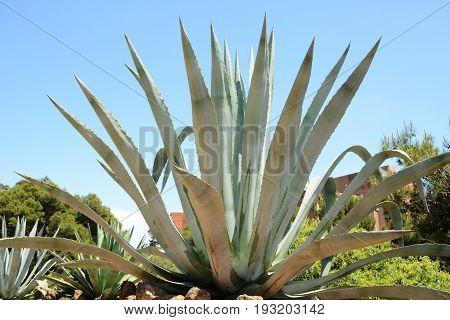 Huge agave close up on blue sky background