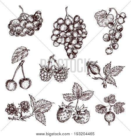 Berries hand drawn monochrome set with bunch of grapes rose hips cherry and gooseberry isolated vector illustration