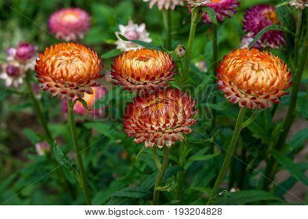 Helichrysum Paper Daisy Straw Flower.