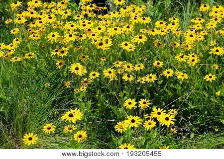 Black-eyed susan flowers (Rudbeckia hirta) bloom in Joliet, Illinois during August.