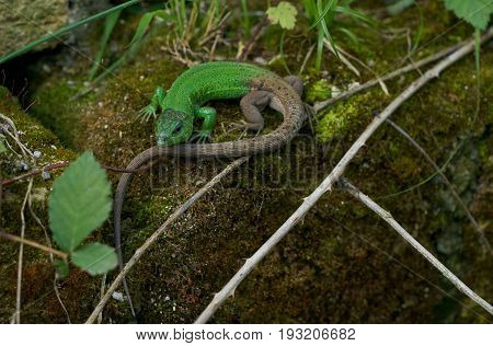 Green Lizard on the stone covered with moss. Oestliche Smaragdeidechse Lacerta viridis European green lizard. Concept of zoology.