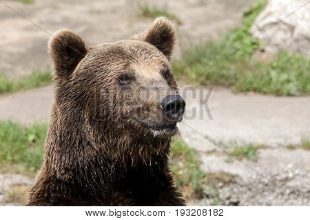 Close Up Brown Bear Looks Around