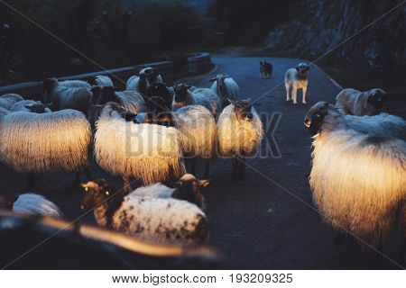 Herd sheep with shepherd group dogs on background landscape аlpine mountain in nature country flock wool lamb with guard in rustic hill is shined with car headlights animal villag farmland