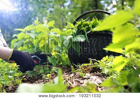 Nettle. A woman collects nettles in the woods.