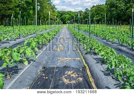 Young tomato plants in the field that have been recently staked