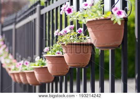 Colourful flowers on a metal fence outside. Row of flowerpots filled with colourful flowers.