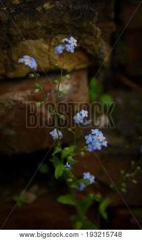 Myos tis. forget-me-not flowers on a background of old mossy bricks
