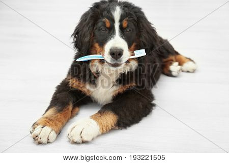 Cute funny dog with toothbrush lying on floor at home. Concept of animal teeth cleaning