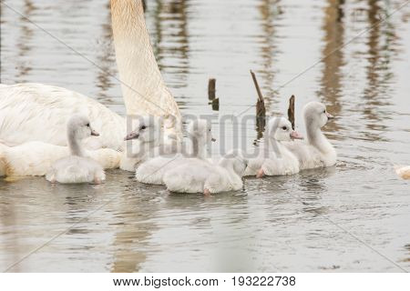 A pair of Trumpeter Swans with their cygnets at Horicon Marsh in Wisconsin.