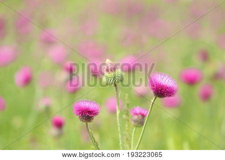 Blooming burdock in steppe, closeup