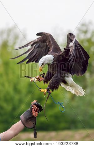American bald eagle (Haliaeetus leucocephalus) with falconer. Bird of prey at falconry display.